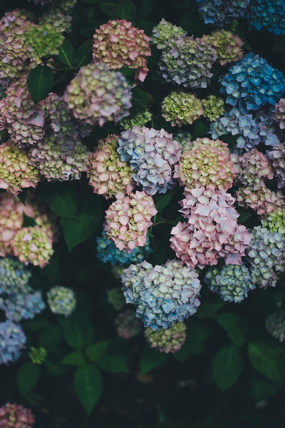 Hydrangeas Annie Spratt | Unsplash