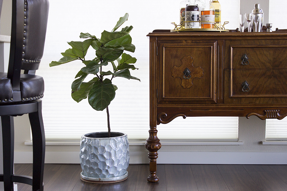 Fiddle Leaf Fig Tree Swanson's Nursery #HeySwansons Style and Cheek - Our First Fiddle Leaf Fig Tree