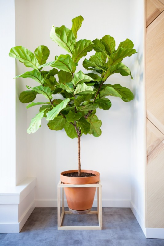 Fiddle Leaf Fig Tree Inspiration - Modern Cube Plant Stand With Optional Fretwork | Remodelaholic