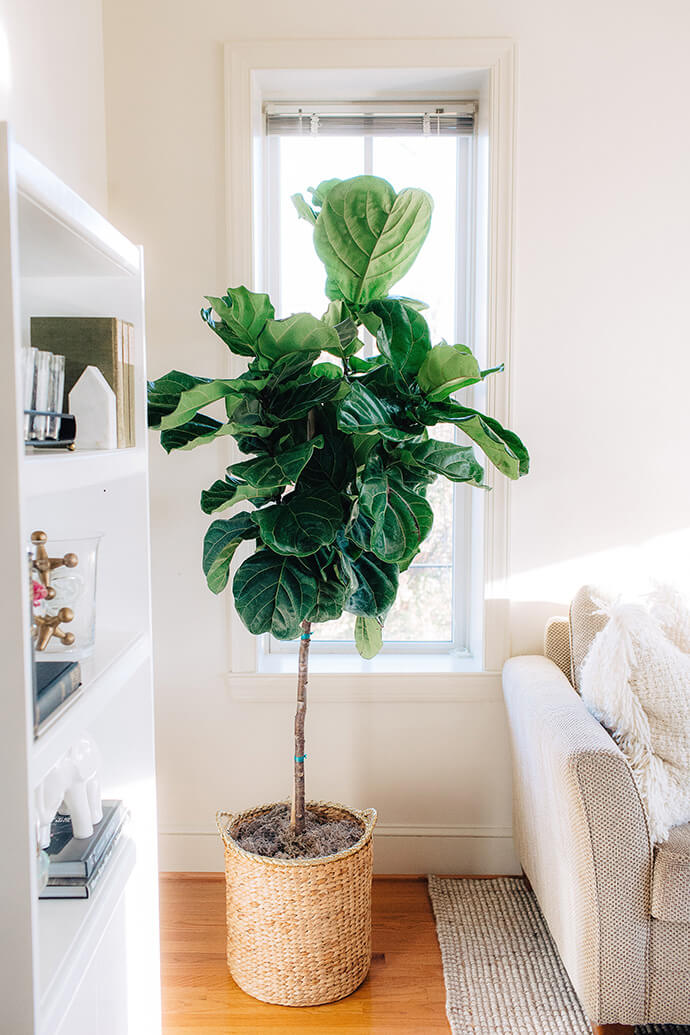 fiddle leaf fig tree inspiration touring kara vaccas pretty and petite richmond retreat glitter