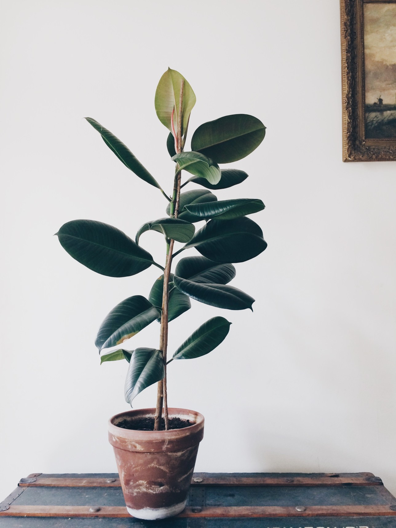 Home Greenery | A Way of Seeing - Rubber Plant Inspiration