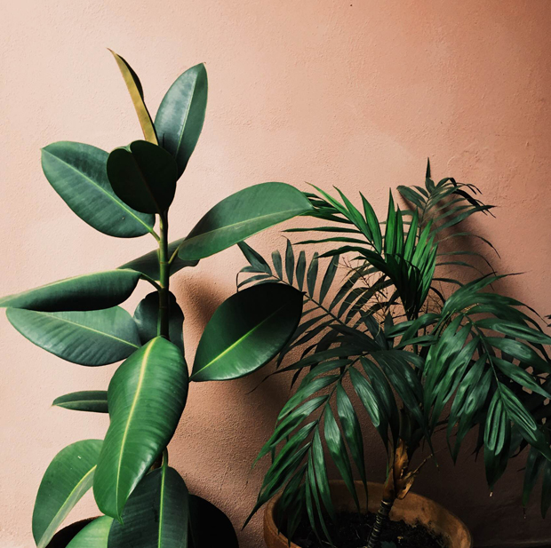 Plant-o-Pedia: Rubber Tree | The Jungalow - Rubber Plant Inspiration